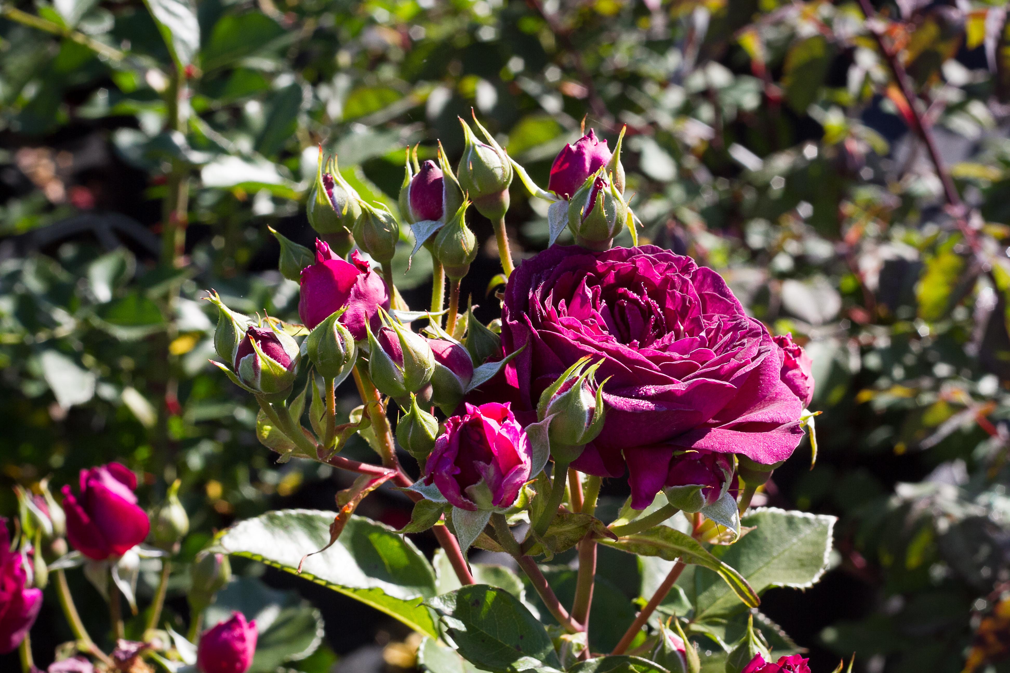 rosier de jardin falstaff