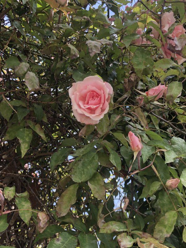 rosier senateur lafolette