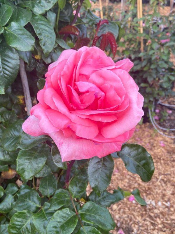 rosier SPECIAL ANNIVERSAIRE LP4