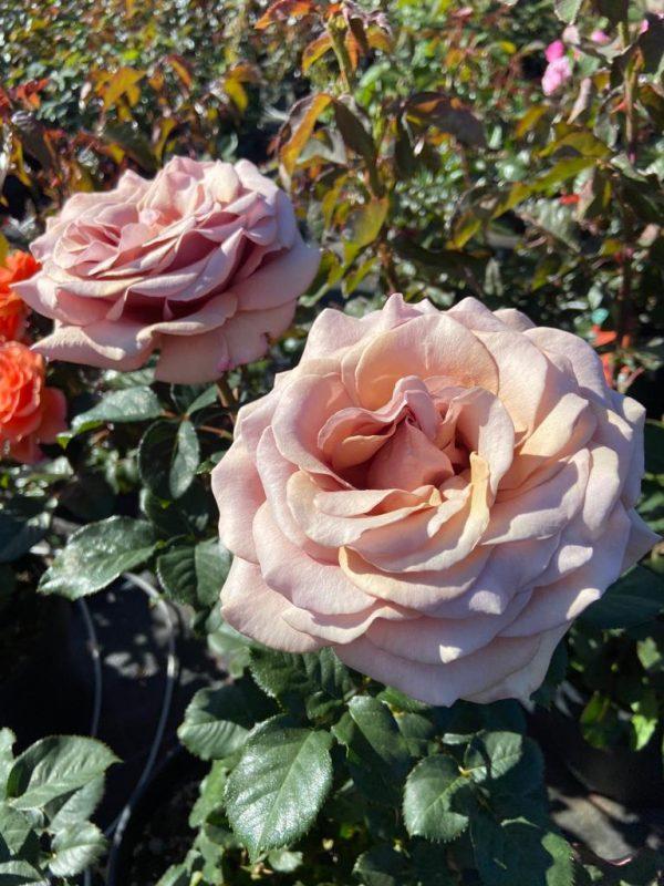 rosier MOKA ROSA LP3