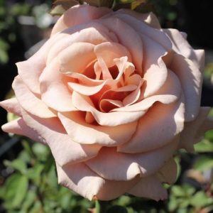 rosier moka rosa